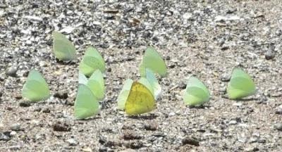 Fase perkawinan metamorfosis kupu - kupu - berbagaireviews.com
