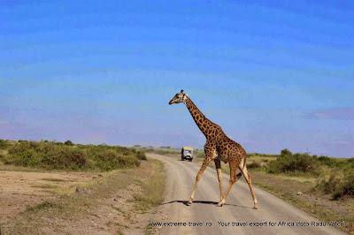 girafa traversand strada