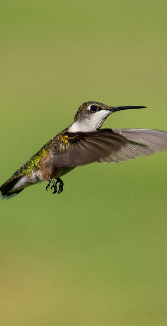A hummingbird in flight mode.