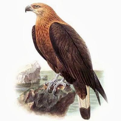 Pigargo de Pallas Haliaeetus leucoryphus