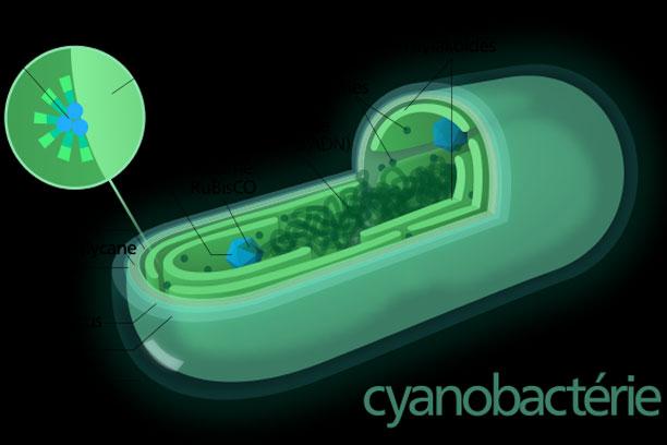 Jelaskan Reproduksi Fragmentasi Pada Cyanobacteria