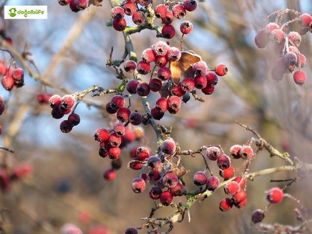 Alıç Bitkisi Nedir? Alıç Meyvesinin Faydaları Nelerdir?