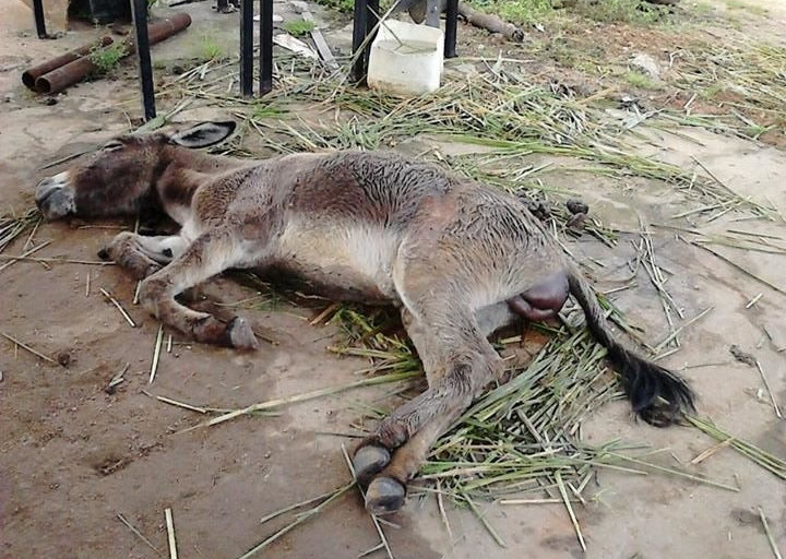 Animal que estava agonizando no pátio de prefeitura morre após receber cuidados de ONG