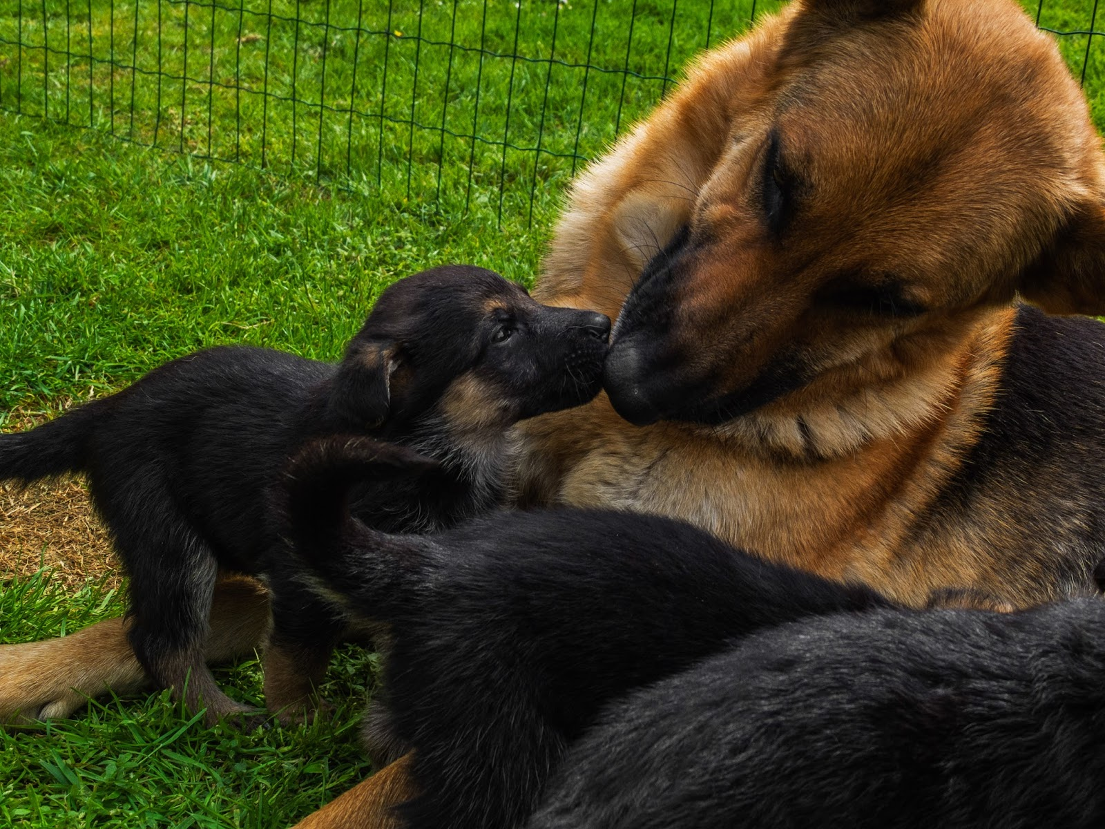 German Shepherd mom and her month old puppy sharing a kiss.