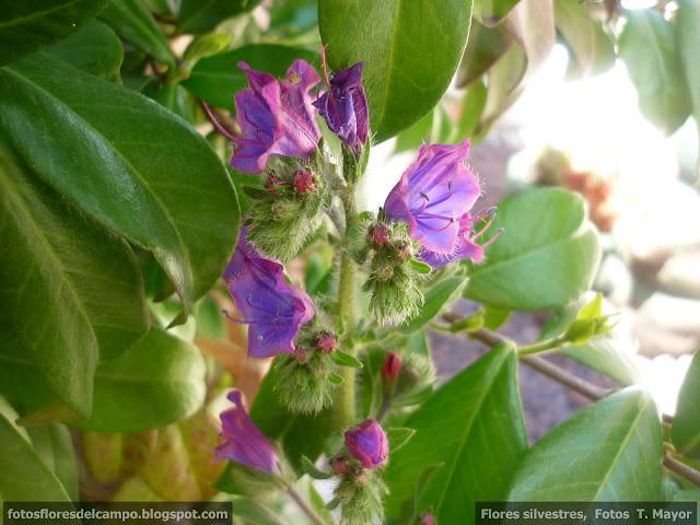 flores y plantas silvestres echium vulgare viborera chupamieles hierba azul lengua de. Black Bedroom Furniture Sets. Home Design Ideas