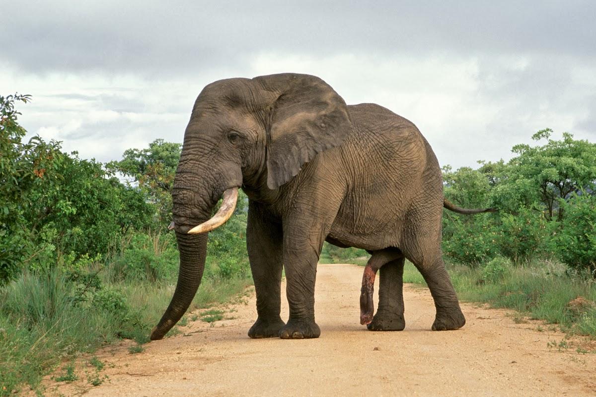 Biggest Mammal Penis 33