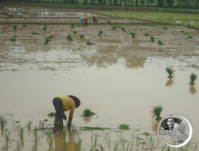 Akhirnya bisa tanam padi di Tegalsungsang, Pagaden Barat, Subang