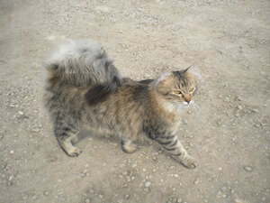 gambar kucing American ringtail