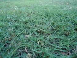 jual rumput golf | gajah mini | rumput peking | rumput embun | gajah paitan | gajah biasa