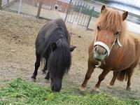 Ponys vom Campingplatz Südeifel