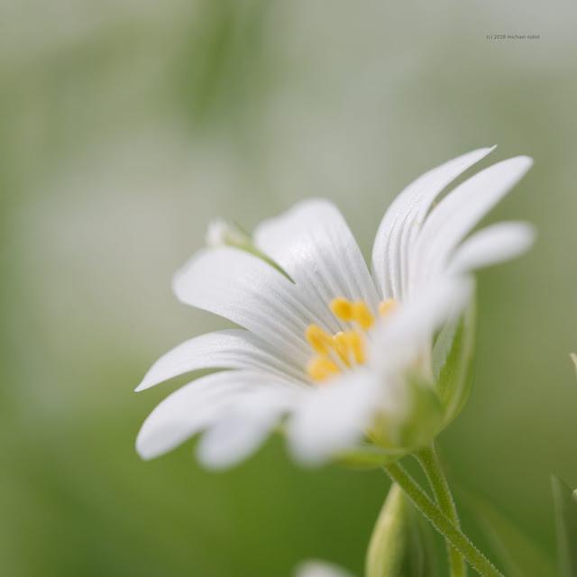Sternmieren (Stellaria)
