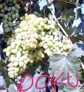 Dokuceva Grape