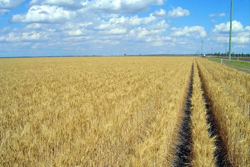 Wheat growing on the black soil plain near Dalby, Queensland