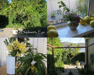Lemon tree is slowly pruning to a good shape (one last lemon to whack unwary gardeners) On the kitchen windowsill a row of lemons Yellow Clivia with slipper orchid