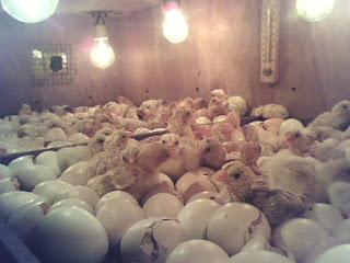 15 Kegagalan dalam Proses Penetasan Telur
