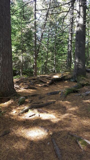 Un sentier tapissé d'aiguilles de pin