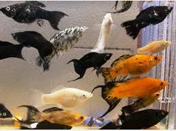 harga Ikan Black Molly dipasaran