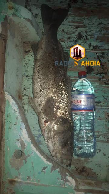 سلقطة : صياد ينجح في صيد أكبر سمكة قاروص
