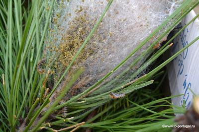 опасные для сосны гусеницы