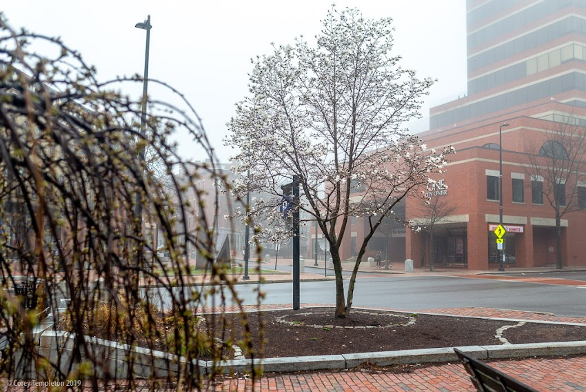 Portland, Maine USA April 2019 photo by Corey Templeton. Trees in bloom at Lobsterman Park on a foggy spring morning.