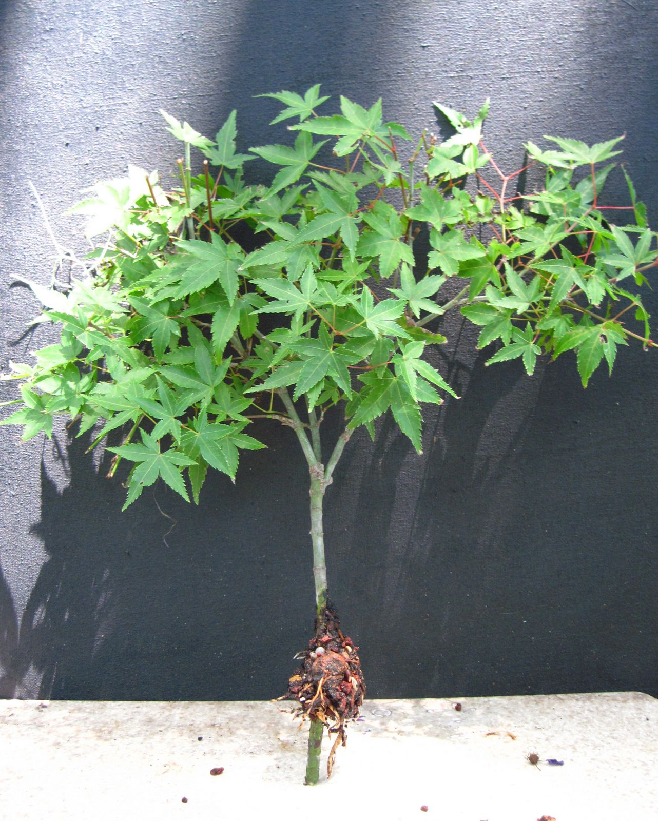 Bonsai Beginnings: Kotohime Japanese Maple
