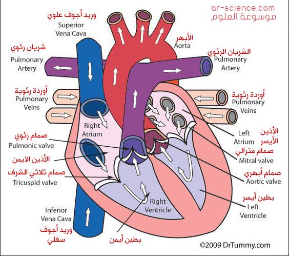 الرسم العلمي جهز رسما علميا لقلب إنسان، وعنون أجزاءه الرئيسة،مستعينا بالأسهم لتوضيح اتجاه مسار الدم فيه .