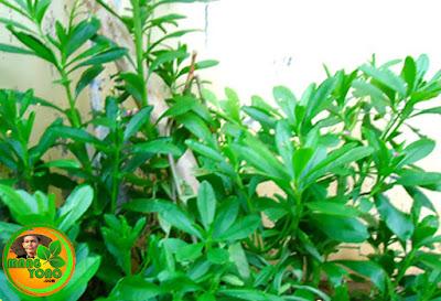 Ginseng Jawa / som Jawa. Foto jepretan admin di taman depan rumah