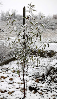 The pear tree in the chicken enclosure