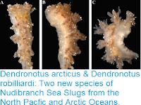 https://sciencythoughts.blogspot.com/2016/12/dendronotus-arcticus-dendronotus.html
