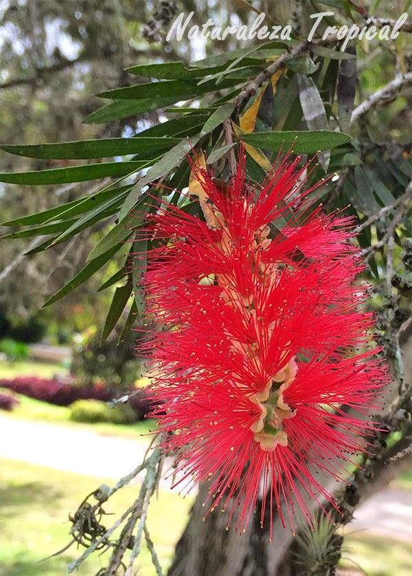 Flor de una planta del género Callistemon