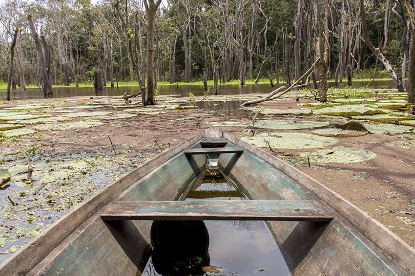 Vitória-Régia na Amazônia