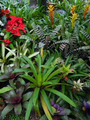 Allan Gardens Conservatory 2017 Christmas Flower Show bromeliads and aechmeas by garden muses-not another Toronto gardening blog