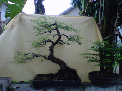 Perawatan tanaman Bonsai Asam Jawa