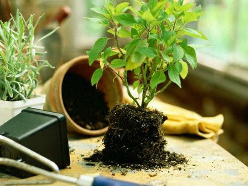 Thay đất cho cây cảnh trồng trong chậu