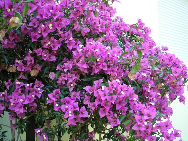 hoa giay dep nhat 23