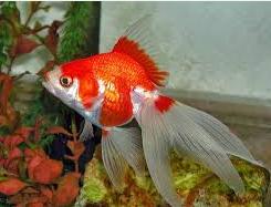 koki 7 Besar Ikan Hias Paling Populer Di Indonesia