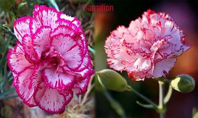 carnation flower, carnation