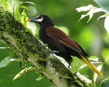 Conoto manto castaño Psarocolius cassini