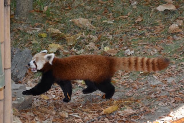 Red Panda Running Photo by Sylvestermouse