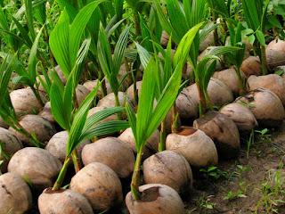 cara-menyemai-buah-kelapa.jpg