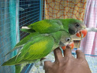 Anakan Lovebird Lucu dan jinak