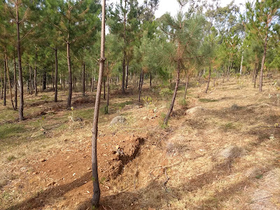 Reforestation Conafor Michoacan Mexico ecological restoration pines community swales pino erosion control