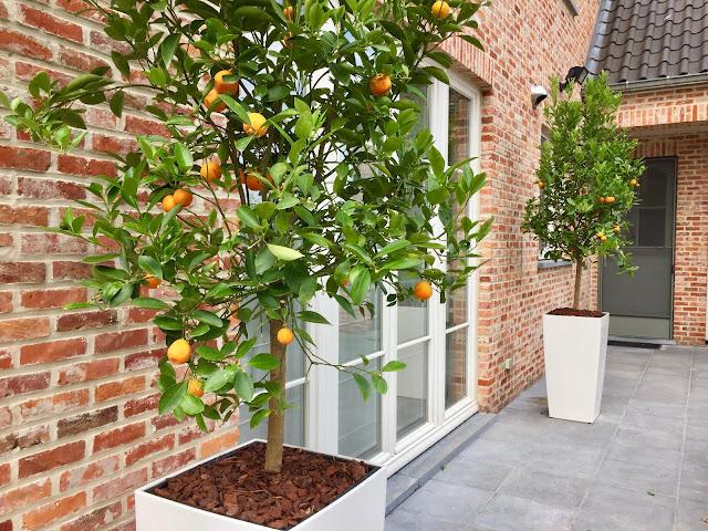 Bomen om te huren in Limburg of Vlaams-Brabant voor event feest bedrijf Lummen Beringen Diest Tienen Sint-Truiden Hasselt Genk Houthalen