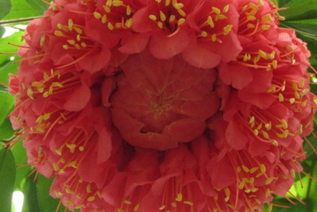 A árvore é extremamente ornamental, principalmente quando em flor, podendo ser usada com sucesso no paisagismo em geral.