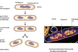 Pengertian dan Fase Pembelahan Biner Pada Bakteri Terlengkap