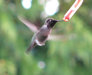 Hummingbirds Facts