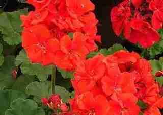Πελαργόνιο ή Γεράνι -  Pelargonium hortorum   GERANIACEAE