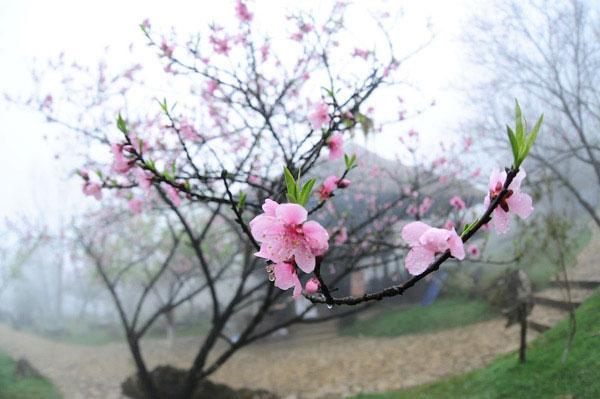 Sapa charm in cherry blossom season 1