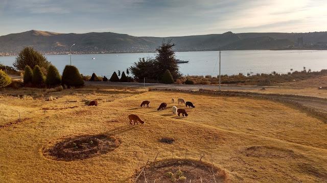 Llamas, Puno y Lago Titicaca desde Isla Esteves, Perú