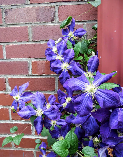 Purple flowers in the Mexican War Streets neighborhood of Pittsburgh